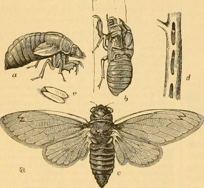 This is a Locust Year: The Periodical Cicada in Cicada Country